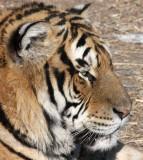 FELID - TIGER - SIBERIAN TIGER - HARBIN SIBERIAN TIGER PARK - CHINA 94.JPG