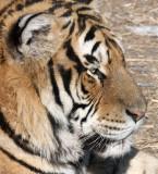 FELID - TIGER - SIBERIAN TIGER - HARBIN SIBERIAN TIGER PARK - CHINA 95.JPG