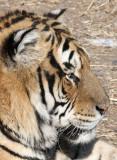 FELID - TIGER - SIBERIAN TIGER - HARBIN SIBERIAN TIGER PARK - CHINA 97.JPG