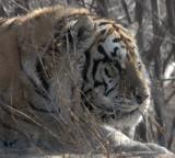 FELID - TIGER - SIBERIAN TIGER - HARBIN SIBERIAN TIGER PARK - CHINA (41).JPG