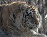 FELID - TIGER - SIBERIAN TIGER - HARBIN SIBERIAN TIGER PARK - CHINA (44).JPG