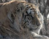 FELID - TIGER - SIBERIAN TIGER - HARBIN SIBERIAN TIGER PARK - CHINA (46).JPG