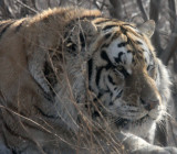 Siberian Tigers of Harbin!