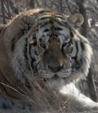 FELID - TIGER - SIBERIAN TIGER - HARBIN SIBERIAN TIGER PARK - CHINA (51).JPG