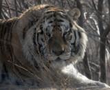 FELID - TIGER - SIBERIAN TIGER - HARBIN SIBERIAN TIGER PARK - CHINA (52).JPG