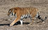 FELID - TIGER - SIBERIAN TIGER - HARBIN SIBERIAN TIGER PARK - CHINA (15).JPG