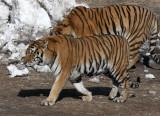 FELID - TIGER - SIBERIAN TIGER - HARBIN SIBERIAN TIGER PARK - CHINA (21).JPG