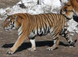 FELID - TIGER - SIBERIAN TIGER - HARBIN SIBERIAN TIGER PARK - CHINA (24).JPG