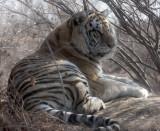 FELID - TIGER - SIBERIAN TIGER - HARBIN SIBERIAN TIGER PARK - CHINA (31).JPG