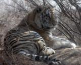 FELID - TIGER - SIBERIAN TIGER - HARBIN SIBERIAN TIGER PARK - CHINA (34).JPG