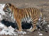 FELID - TIGER - SIBERIAN TIGER - HARBIN SIBERIAN TIGER PARK - CHINA (5).JPG