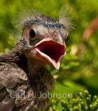 Baby Starling (Stumus vulgaris)