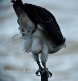 Osprey-excretion (series)