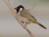 Vogels Midden-Oosten / Birds Middle East