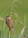 Kleine karekiet / Eurasian Reed Warbler / Acrocephalus scirpaceus