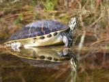 Schildpadden / Turtles, Tortoises