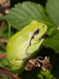 Boomkikkers / Tree frogs