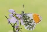 Vlinders - Butterflies