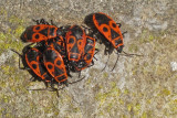Kevers, wantsen, cicades, e.d. - Beetles, bugs, cicadas, etc.