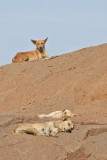 Zwerfhonden in Aswan - Egypte