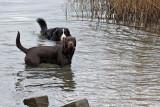 Berner sennenhond en bruine labrador