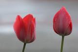 Tulpen na een regenbui