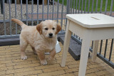 Golden retriever puppy's - 2 weken later