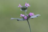 Clinopodium vulgare - Borstelkrans
