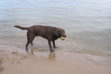 Bruine labrador op het strandje