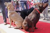 Drie kleuren labradors
