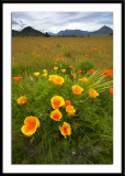 Californian Poppies - Wanaka NZ