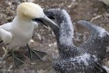 Feeding fledging by regurgitation