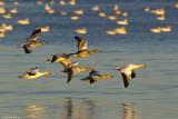 Snow Geese at Cap Tourmente, QC