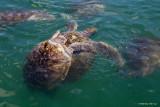 Flirting turtles.jpg