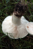 St Georges Mushrooms 8/5/11