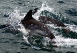 Loch Dunvegan dolphins (Photo by Sarah).jpg