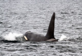 Sailing with Orcas (killer whales) on the West Coast of Scotland 2012