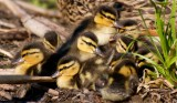 Pile of Ducklings