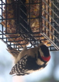 same hungry woodpecker.JPG