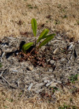 young magnolia - 2009.jpg