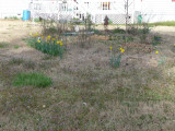 considering daylilies.jpg