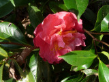 front yard camellia - FIRST EVER BLOOM