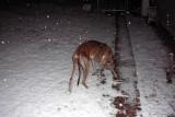 snow pippin.jpg