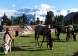 Mules at Dukari.jpg