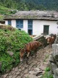 Mules in Khati.jpg