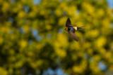 Rostgumpsvala - Red-rumped Swallow