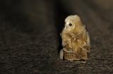 Kattuggla - Tawny Owl