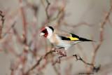 Cardellino ( Goldfinch)