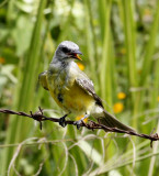 Couchs-Kingbird.jpg