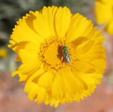 Desert-Marigold-with-insect.jpg